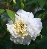Jefferson Rose, Softee Rose
