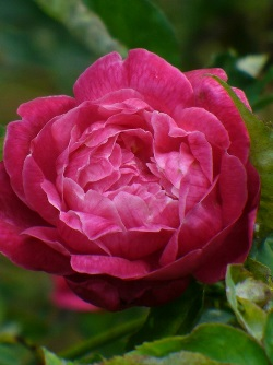Louis Philippe Rose, Zavala Rose, Florida Cracker Rose, King of France Rose