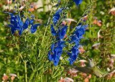 Hybrid Blue Arrowleaf Sage