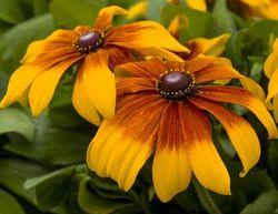 Rising Sun® Chestnut Gold Black-Eyed Susan, Pinewoods Coneflower, Rudbeckia, Gloriosa Daisy, Yellow Ox-Eye Daisy