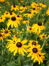 Goldstrum Black-Eyed Susan, Rudbeckia