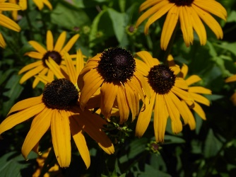 Early Bird Gold Black-Eyed Susan, Rudbeckia