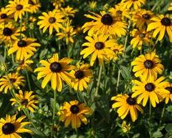 Deam's Black-Eyed Susan, Orange Coneflower, Rudbeckia