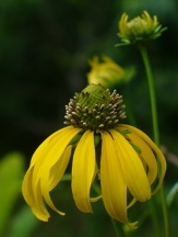 Sabine Coneflower, Black-Eyed Susan