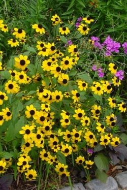 Brown-Eyed Susan, Thin-Leaved Coneflower, Three-Leaf Rudbeckia, Rudbeckia triloba