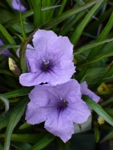 Katie Blue Ruellia, Dwarf Ruellia, Dwarf Mexican Petunia, Desert Petunia, Mexican Blue Bells, Florida Bluebells