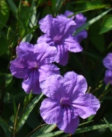 Purple Showers Mexican Petunia, Desert Petunia, Florida Bluebells, Mexican Bluebells