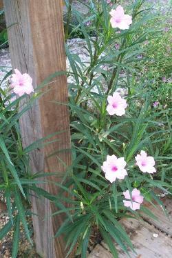 Chi-Chi Pink Ruellia, Mexican Petunia, Desert Petunia, Mexican Blue Bells, Florida Bluebells