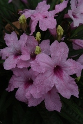 Chi-Chi Dwarf Pink Ruellia, Dwarf Mexican Petunia, Dwarf Pink Ruellia, Desert Petunia, Mexican Blue Bells, Florida Bluebells