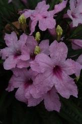 Katie Pink Dwarf Ruellia, Dwarf Mexican Petunia, Desert Petunia, Mexican Blue Bells, Florida Bluebells