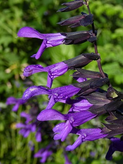 Electric Purple Salvia, Sage, Salvia 'Electric Purple'