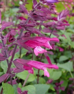 Love and Wishes Salvia, Salvia x 'Love and Wishes'