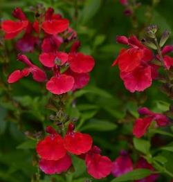Mirage™ Cherry Red Salvia, Autumn Sage