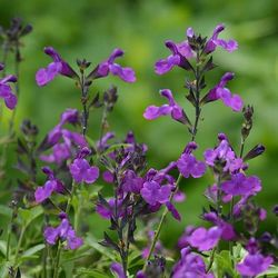 Mirage™ Violet Salvia, Autumn Sage