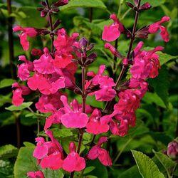 Pink Pong Salvia, Autumn Sage