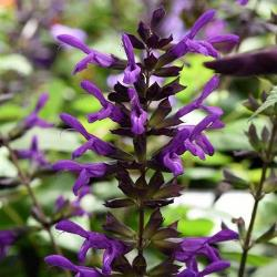 Purple & Bloom Salvia, Anise Sage