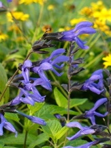 Black and Blue Salvia, Anise Sage, Salvia guaranitica 'Black and Blue', S. caerulea, S. concolor 'Black and Blue'