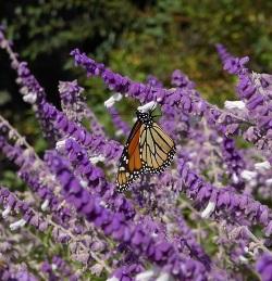 Bicolor Mexican Sage Bush