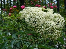 American Elderberry, Common Elderberry