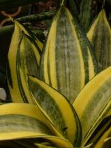 Golden Hahnii Dwarf Sansevieria, Bird's Nest Sanseveria, Mother-In-Laws Tongue