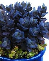 Sunsparkler® Blue Pearl Sedum