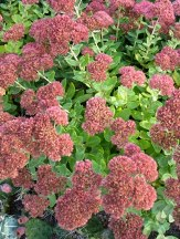 Autumn Joy Sedum, Sedum x 'Autumn Joy', S. telephium 'Autumn Joy', S. x 'Herbstfreude', Hylotelephium x 'Herbstfreude'