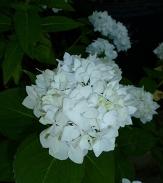 Soeur Therese White Bigleaf Hydrangea (Mophead), Sister Theresa Hydrangea