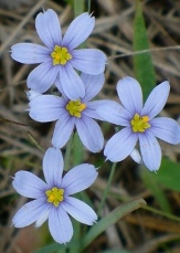 Suwanne Blue-Eyed Grass