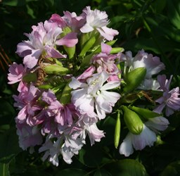 Double Pink Soapwort, Bouncingbet, Mock Gillyflower, Saponaria officinalis 'Flore Pleno'
