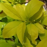 Solid Gold Dwarf Korean Forsythia