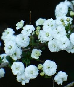 Bridal Wreath Spirea, Popcorn Spirea
