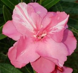Splendens Double Pink Oleander, Mrs. Isadore Dyer Oleander