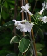Variegated Stephanotis, Floradora, Madagascar Jasmine