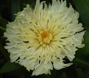 Mary Gregory Stokesia Daisy, Stokes Aster, Stokesia laevis 'Mary Gregory