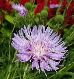 Omega Skyrocket Stokesia Daisy, Stoke's Aster