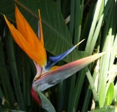 Bird of Paradise, Crane Flower, Strelitzia reginae