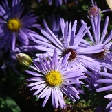October Skies Aromatic Aster