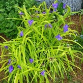 Sweet Kate Spiderwort, Tradescantia
