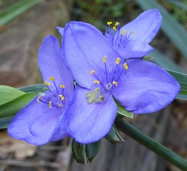 Blueberry's Baby Spiderwort