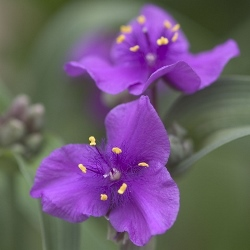 Concord Grape Spiderwort, Tradescantia