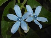 Tweedia, Blue Milkweed, Southern Star