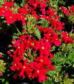 Vepita® Fire Red Trailing Verbena