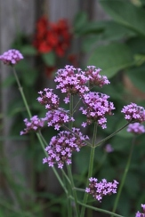 Purple-Top Vervain, Brazilian Vervain, Tall Verbena, Verbena bonariensis