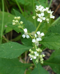 White Frostweed, White Crownbeard, Virginia Frostweed, Indian Tobacco, Squawweed, Richweed
