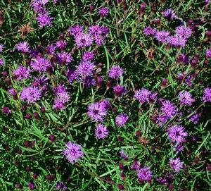 Summer's Swan Song Ironweed