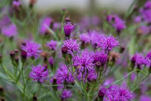 Summer's Surrender Ironweed