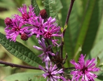 Giant Ironweed, Tall Ironweed, V. altissima