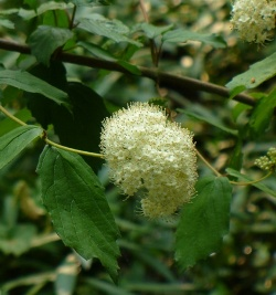 Arrowwood Viburnum, Southern Arrowwood, Viburnum dentatum