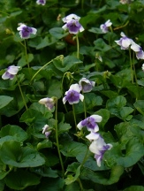 Trailing Violet, Australian Violet, Ivy-Leaved Violet, Tasmanian Trailing Violet