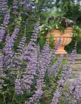 Lecompte Blue Chaste Tree, Vitex, Monk's Pepper Tree, Vitex agnus-castus 'Lecompte'